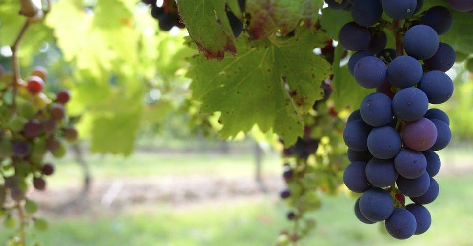 Comprendre le vin de la Simone